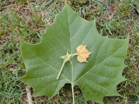 Platanus occidentalis leaf jpgPlatanus Occidentalis Leaf