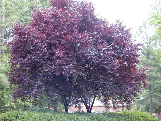 Prunus cerasifera cv 39 atropurpurea 39 for Como podar un ciruelo de jardin