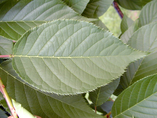 prunus serrulata purpurascens cv  u0026 39 kanzan u0026 39