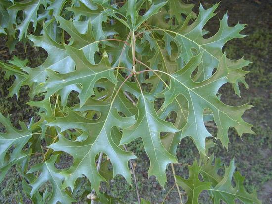 Quercus coccinea Muenchh   FagaceaeQuercus Coccinea Acorn