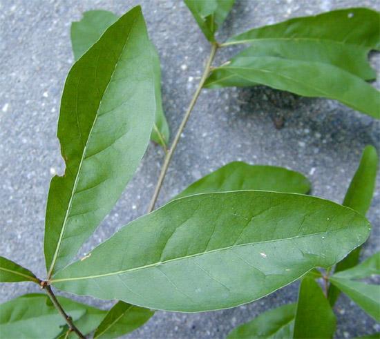 Quercus Laurifolia Leaf Quercus laurifolia