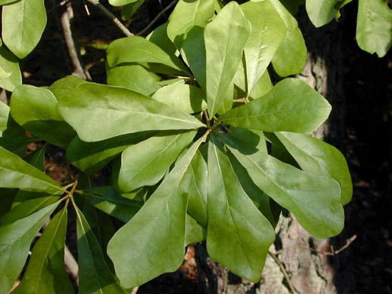 Quercus nigra L   FagaceaeQuercus Nigra