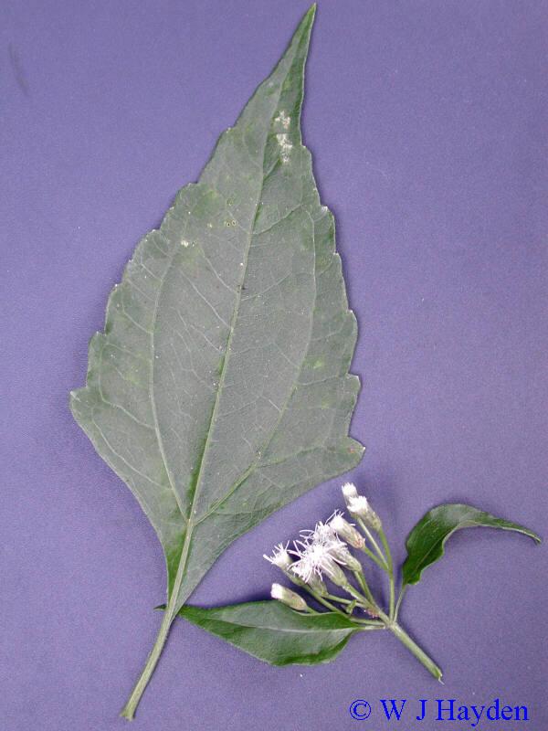 Chromolaena odorata  L   R  M  King  amp  Robinson syn  Eupatorium    Chromolaena Odorata Leaf