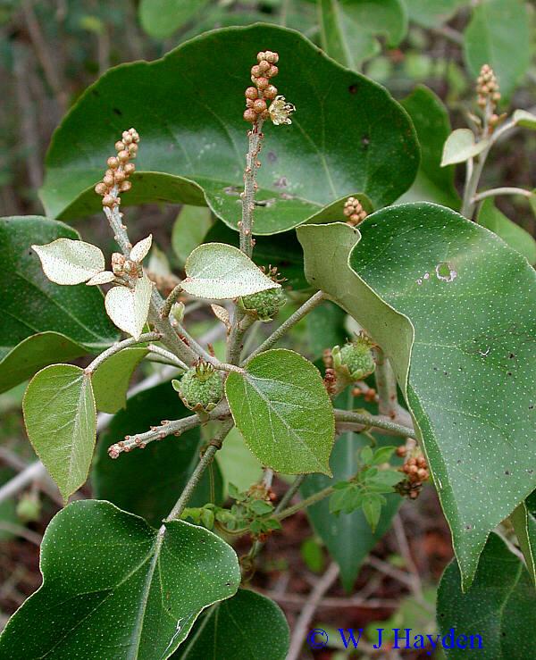 Croton Arboreus