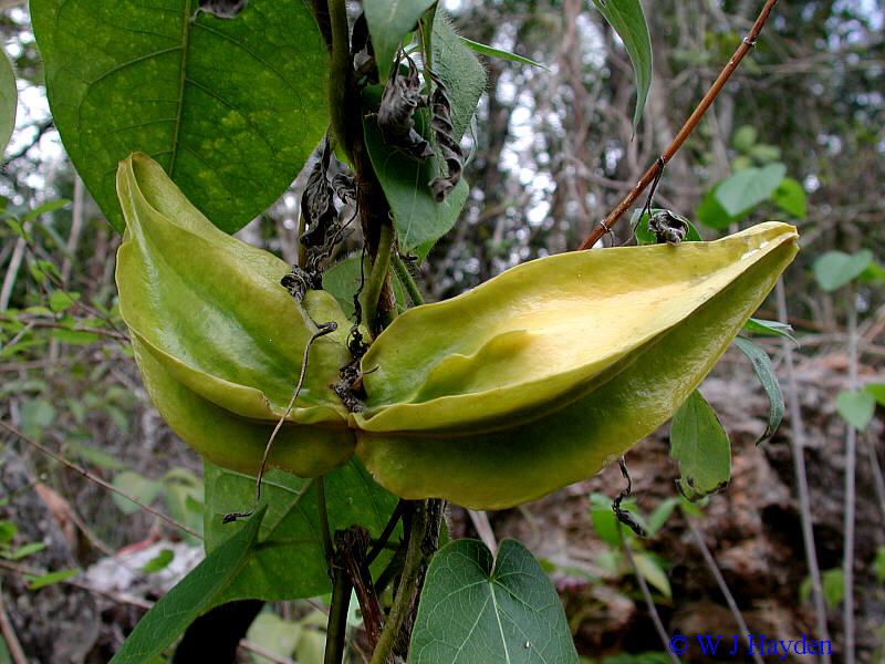 Richmond >> gonolobus yucatanensis