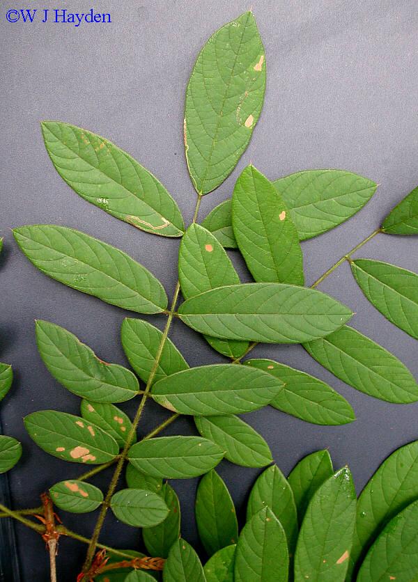 Lonchocarpus Rugosus
