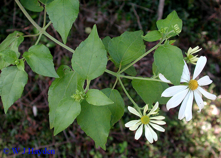 steroidal lactones from withania somnifera an ancient plant for novel medicine